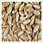 Wheat Soft Spring (organic) 5kg
