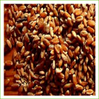 Wheat-Red Fyfe (organic) 1kg